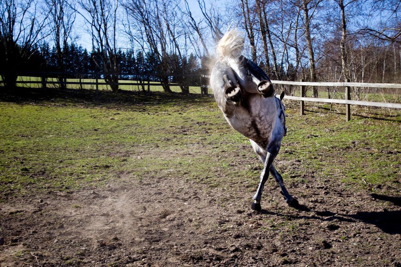 En häst slår bakut