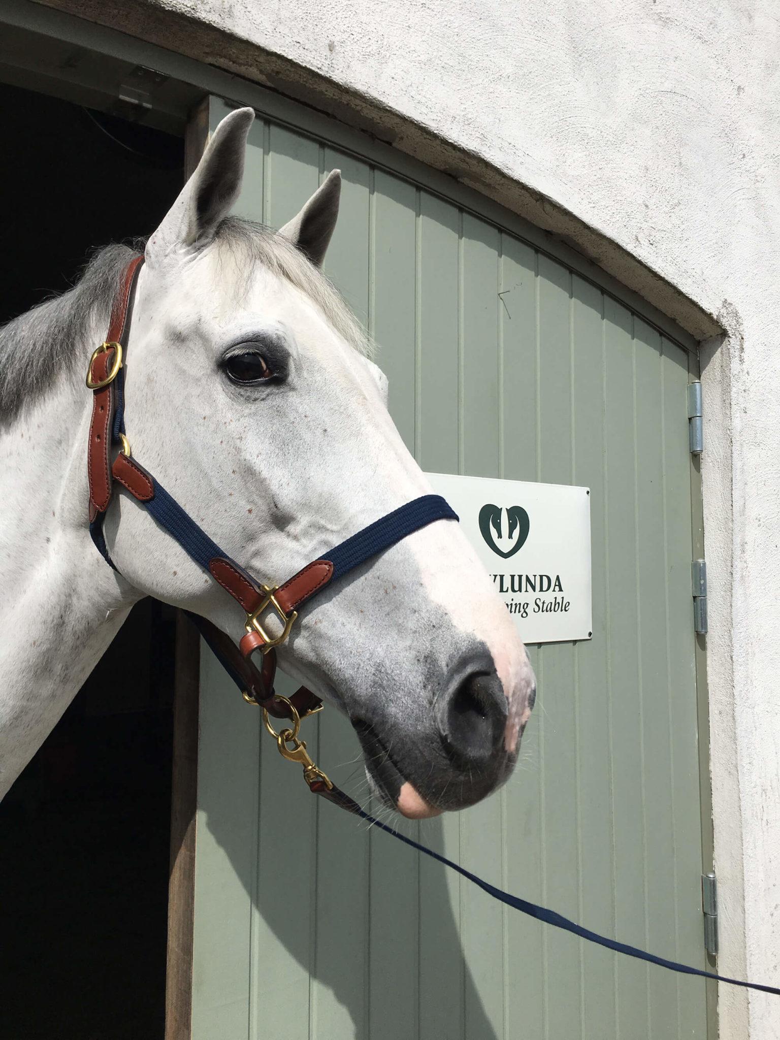 En häst påväg ut ur stallet