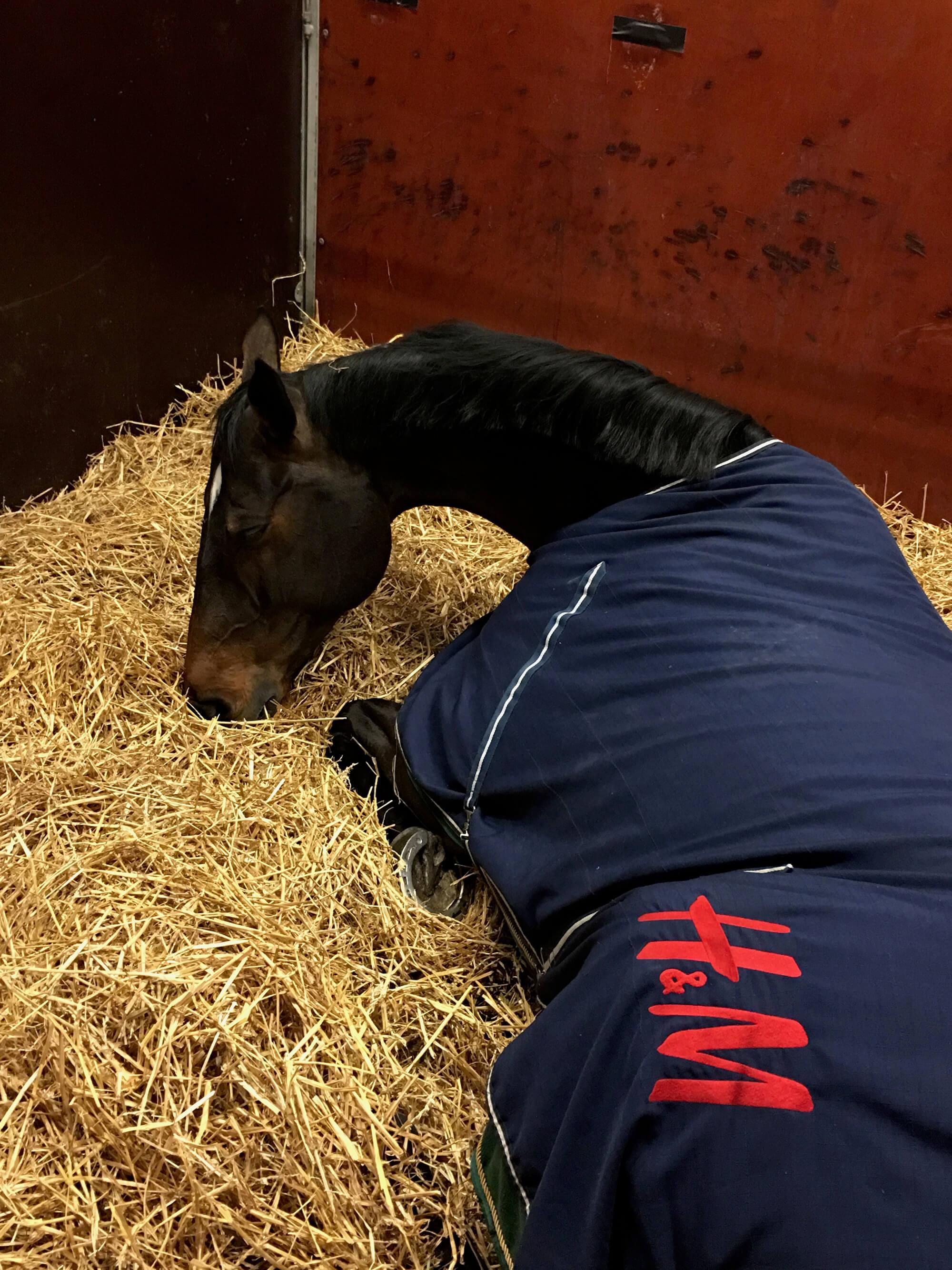 En häst ligger i hö med täcke från H&M