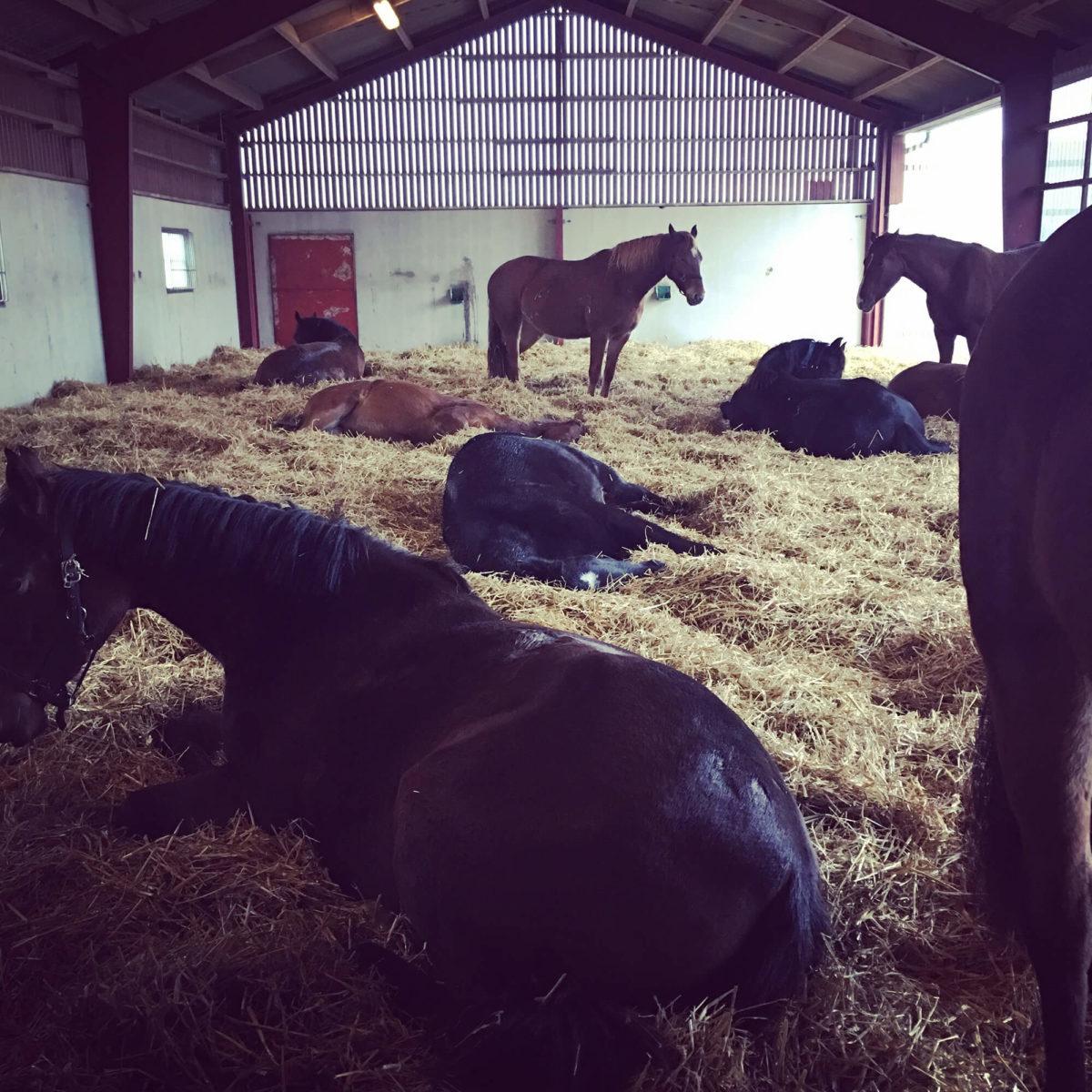 Många hästar ligger inne i stallet i hö