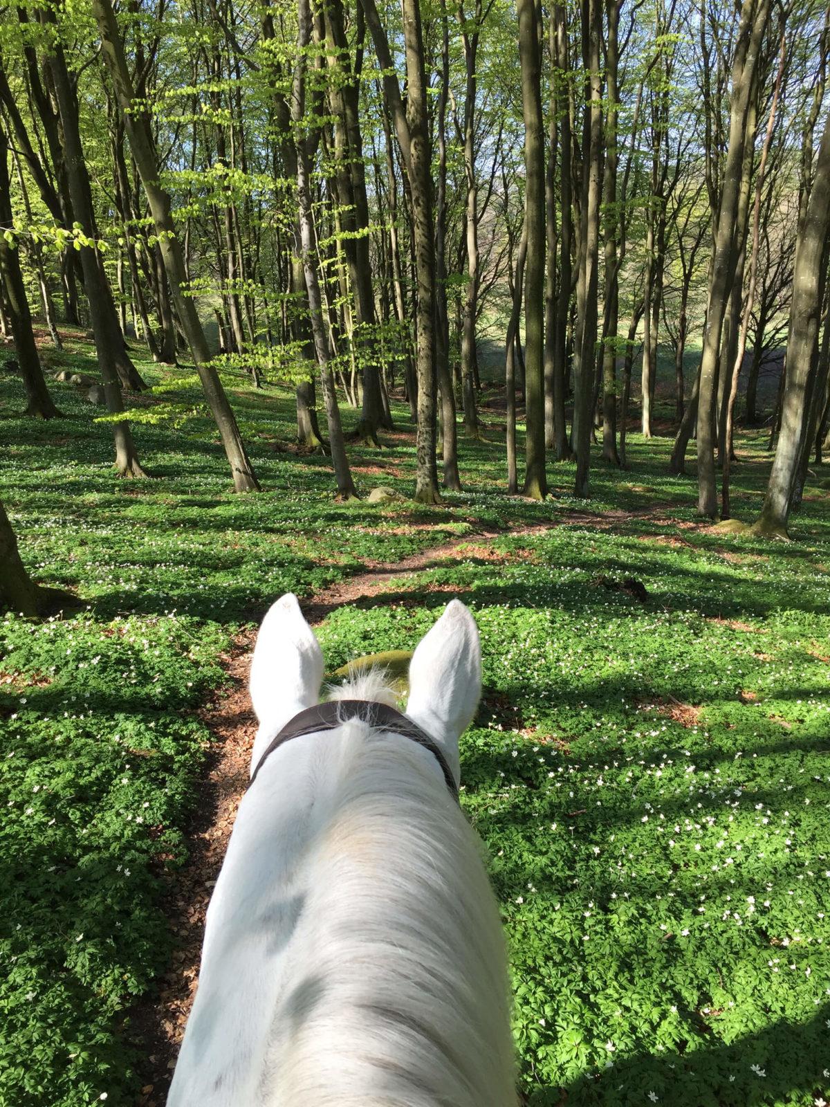 Bild från ryggen på en häst ute i skogen